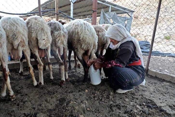 مسنة فلسطينية تحلب الاغنام في قرية الجفتلك شمال مدينة اريحا.