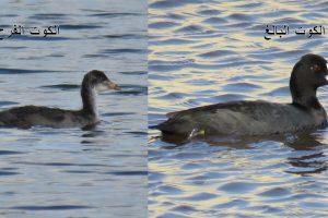 مرج صانور جنوب جنين يعود كموقع مهم لتكاثر الطيور