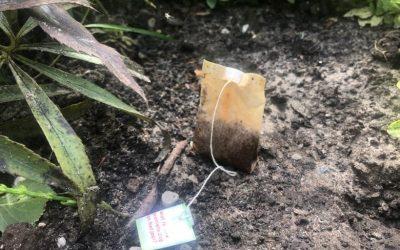 قم بدفن أكياس الشاي المستعملة في حديقتك وهذا ما يمكن أن يحدث! هذا رائع!
